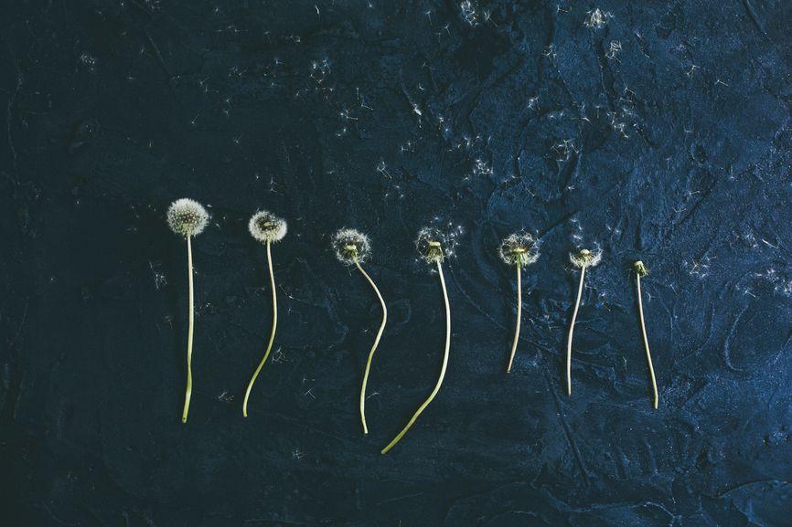 Life Of A Dandelion