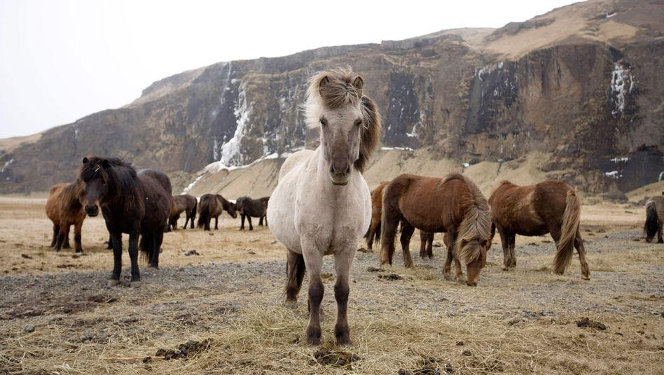 Islandponys auf Island