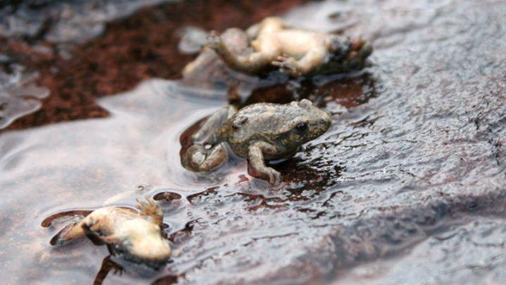 Chytridiomykose: Gefahr im Teich