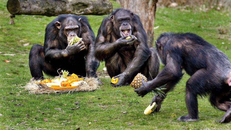 Schimpansen beim Fressen (im Safaripark Hilvernbeek): Kuschelhormone bei gemeinsamer Mahlzeit