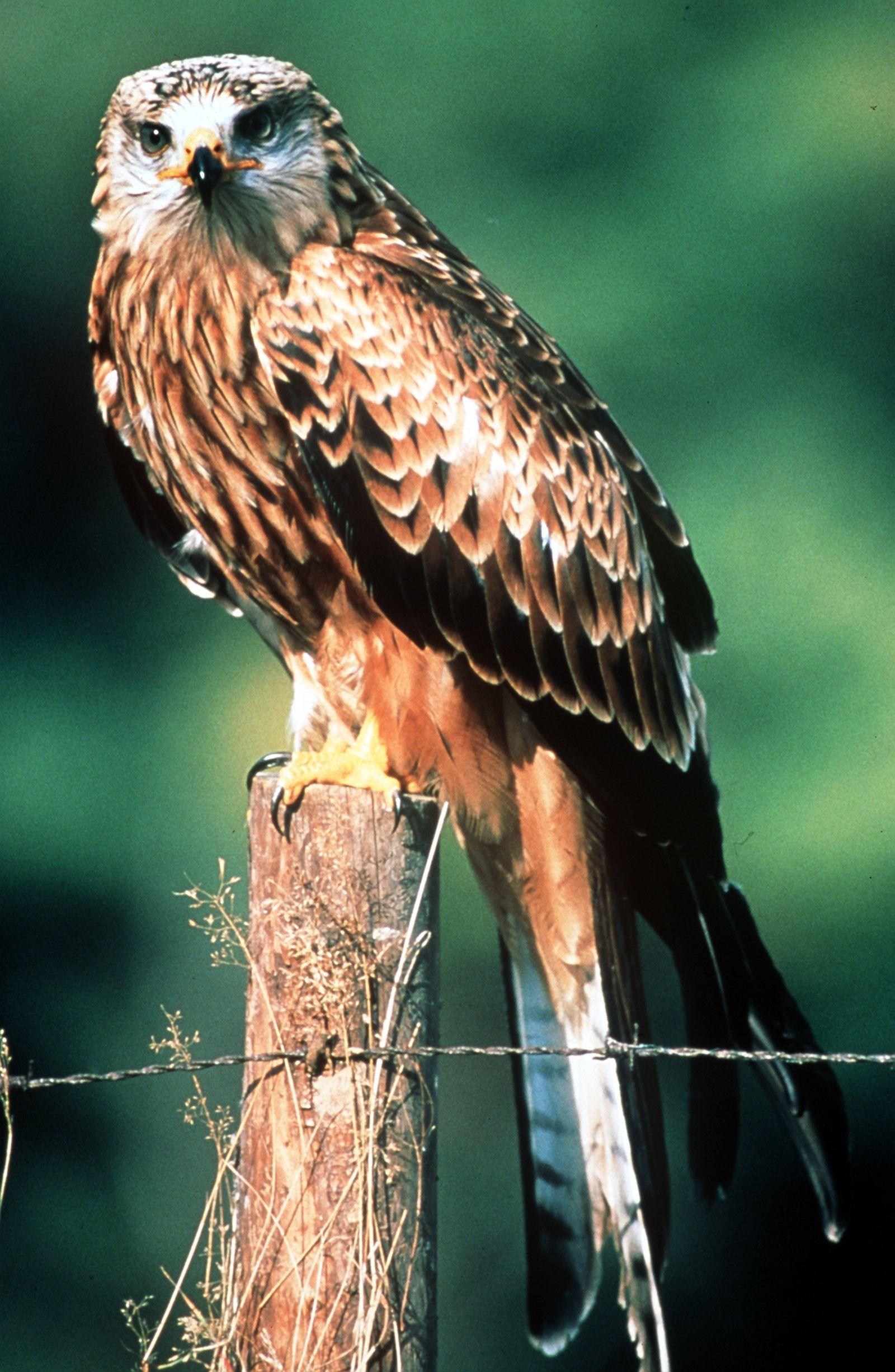 """Rotmilan ist """"Vogel des Jahres 2000"""""""