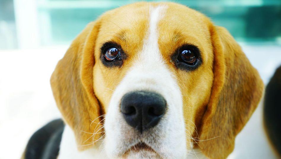 Beagle (Symbolbild)