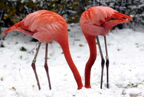 """Flamingos (in Frankfurt): """"Sie werden den Rest ihres Lebens zusammen verbringen"""""""