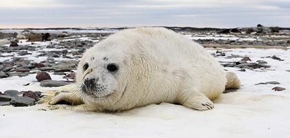 Robbenjunges in Kanada: Streit um Jagd mit politischen Konsequenzen