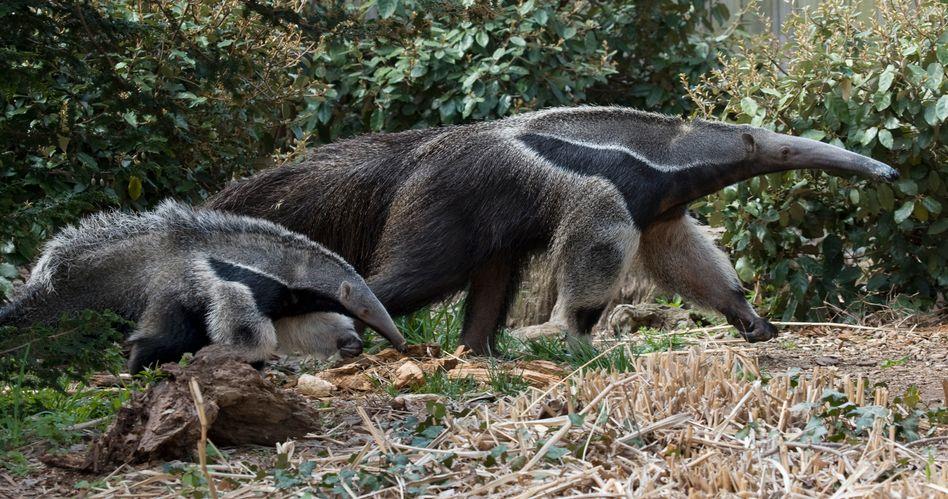Große Ameisenbären im Zoo Washington: Messerscharfe Krallen