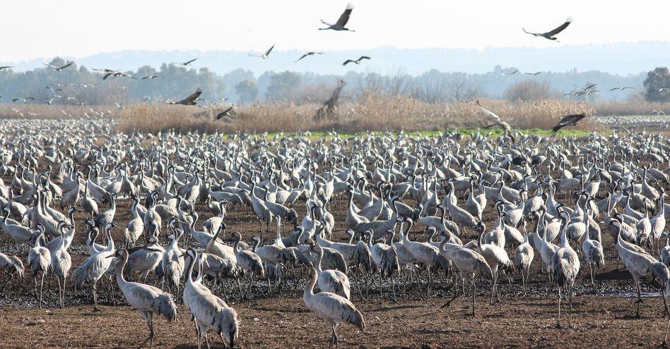 Kraniche am 14. Februar auf einem Feld im Hula-Tal im Norden Israels: Von den pro Saison 120.000 Tieren bleibt jedes dritte den Winter über dort
