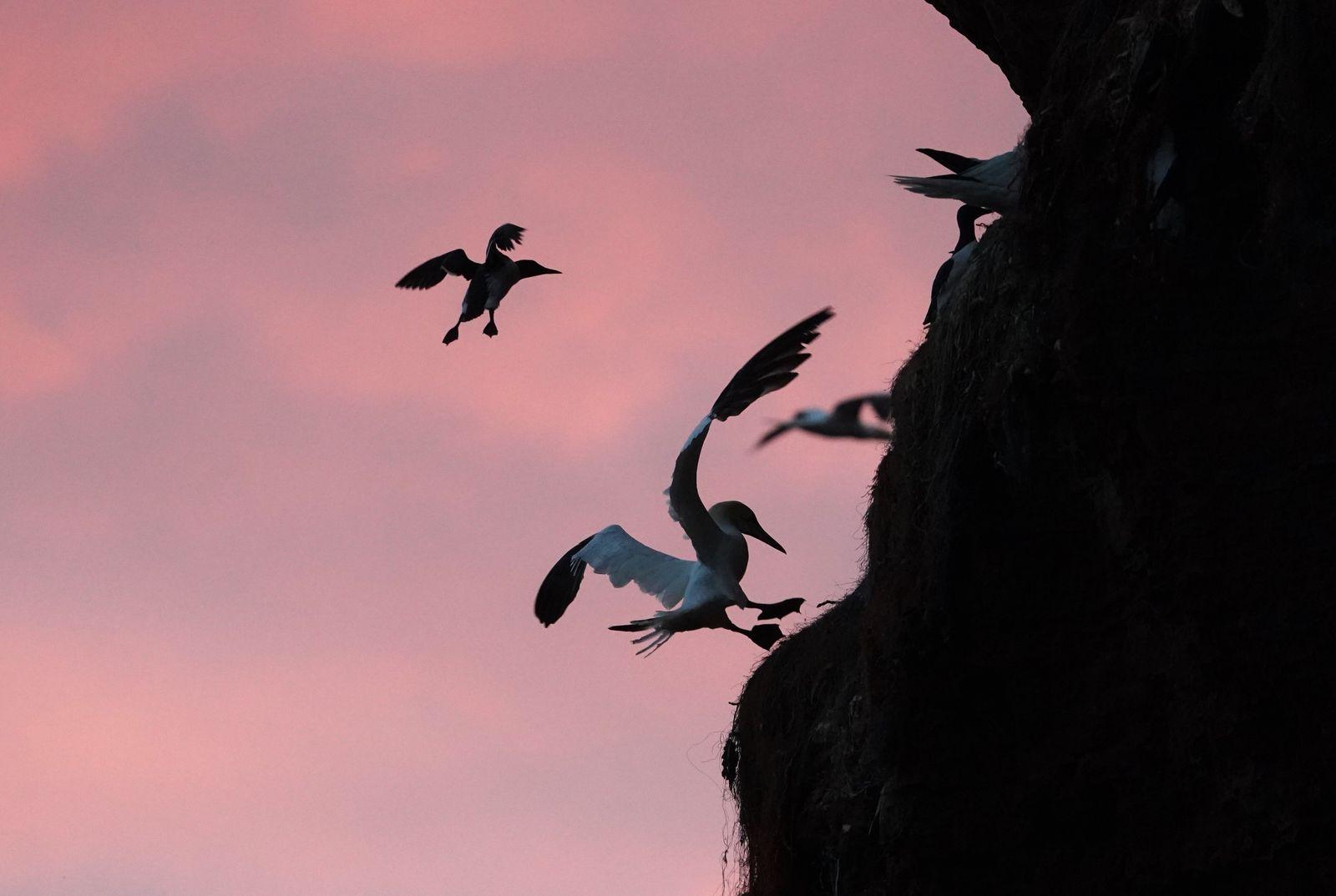 Lummensprung auf Helgoland hat begonnen