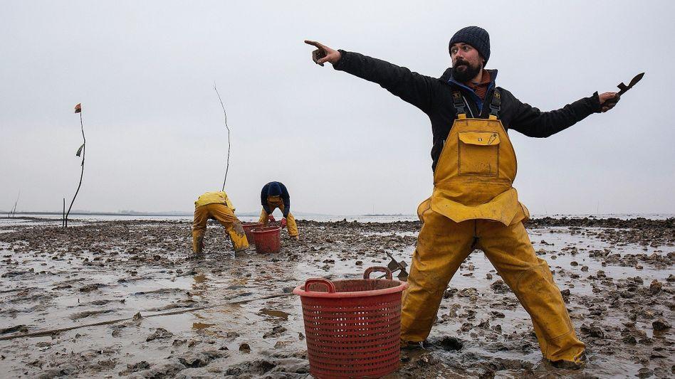 Austernfischer Haward vor Mersea: »Ich habe immer gesagt, der Brexit wird die britische Fischindustrie ruinieren«