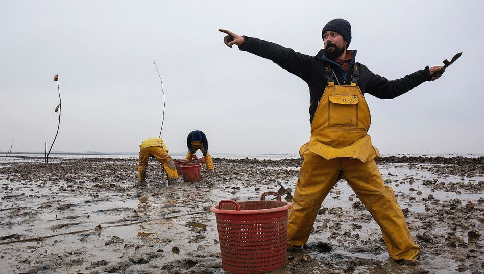 Austernfischer Haward vor Mersea: ??Ich habe immer gesagt, der Brexit wird die britische Fischindustrie ruinieren??