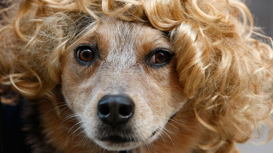 Animal welfare organizations described a recent Halloween-costume contest for dogs as cruel. If this dog had been Swiss, it might have had a lawyer.