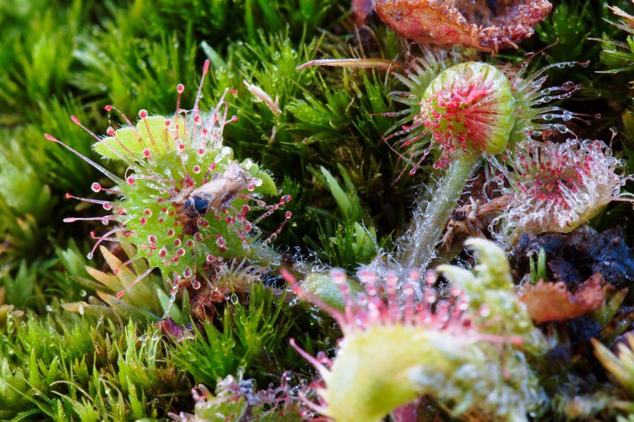 Lauert im Moor auf Opfer: Rundblättriger Sonnentau. Wenn ein Insekt an den klebrigen roten Tentakeln hängen bleibt, rollt sich das Blatt ein, und das Tier wird langsam zersetzt.