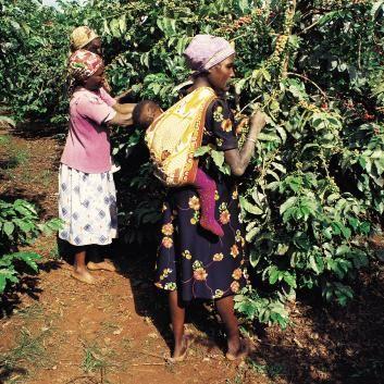 Kaffeeplantage in Thika
