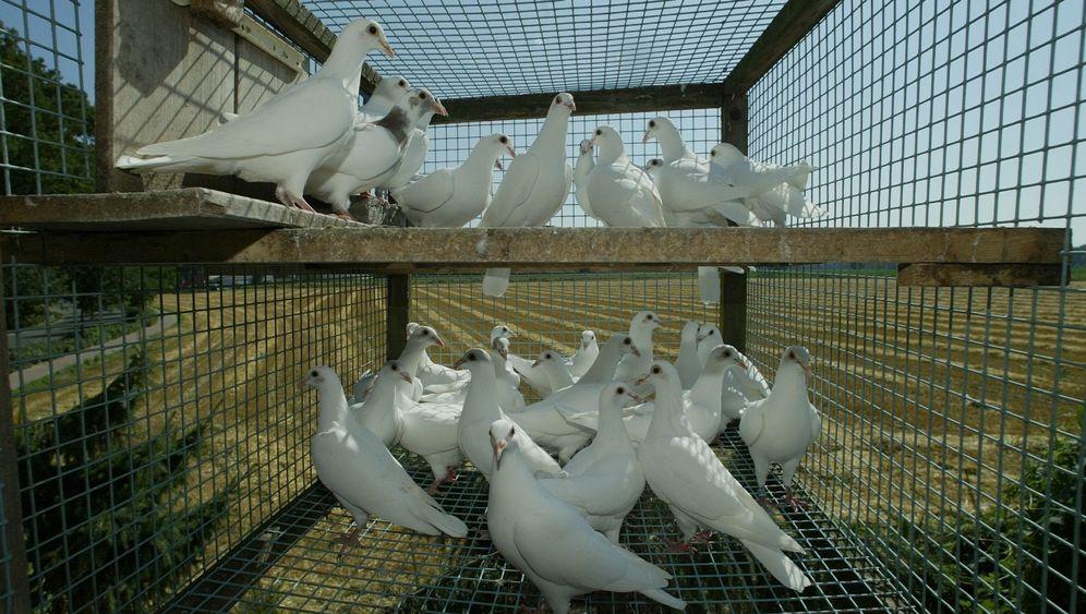Brieftauben: Neues vom Vogelkompass