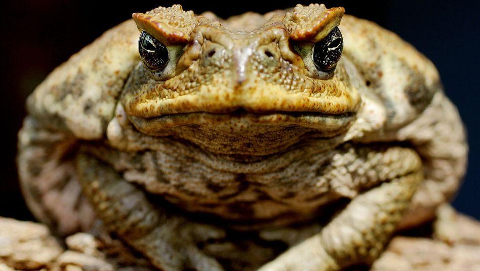 Aga-Kröte: Zäune um Wasserstellen sollen die Verbreitung der Amphibien eindämmen
