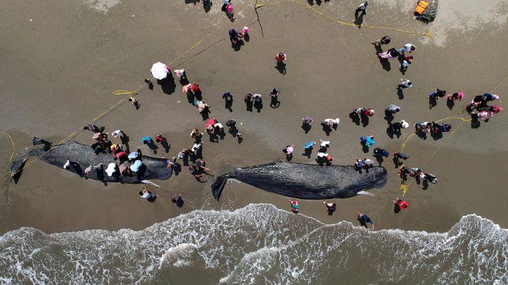 Gestrandete Wale in Indonesien: Die 24-Stunden-Aktion