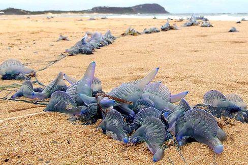 Quallen an der Ostküste Australiens: Die Berührung einer sogenannten Portugiesischen Galeere kann tödlich enden.