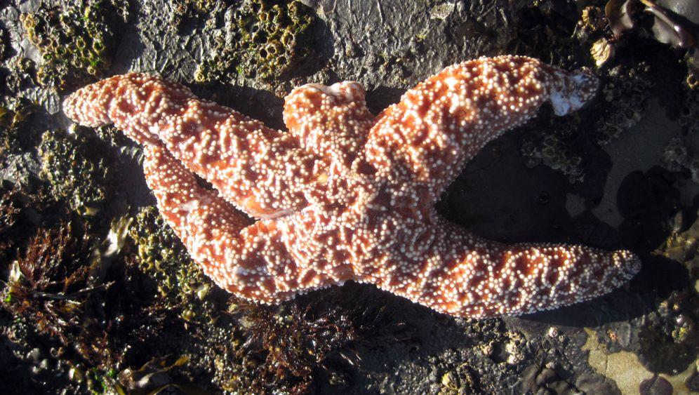 Sea Star Wasting Syndrome: Kranke Sterne