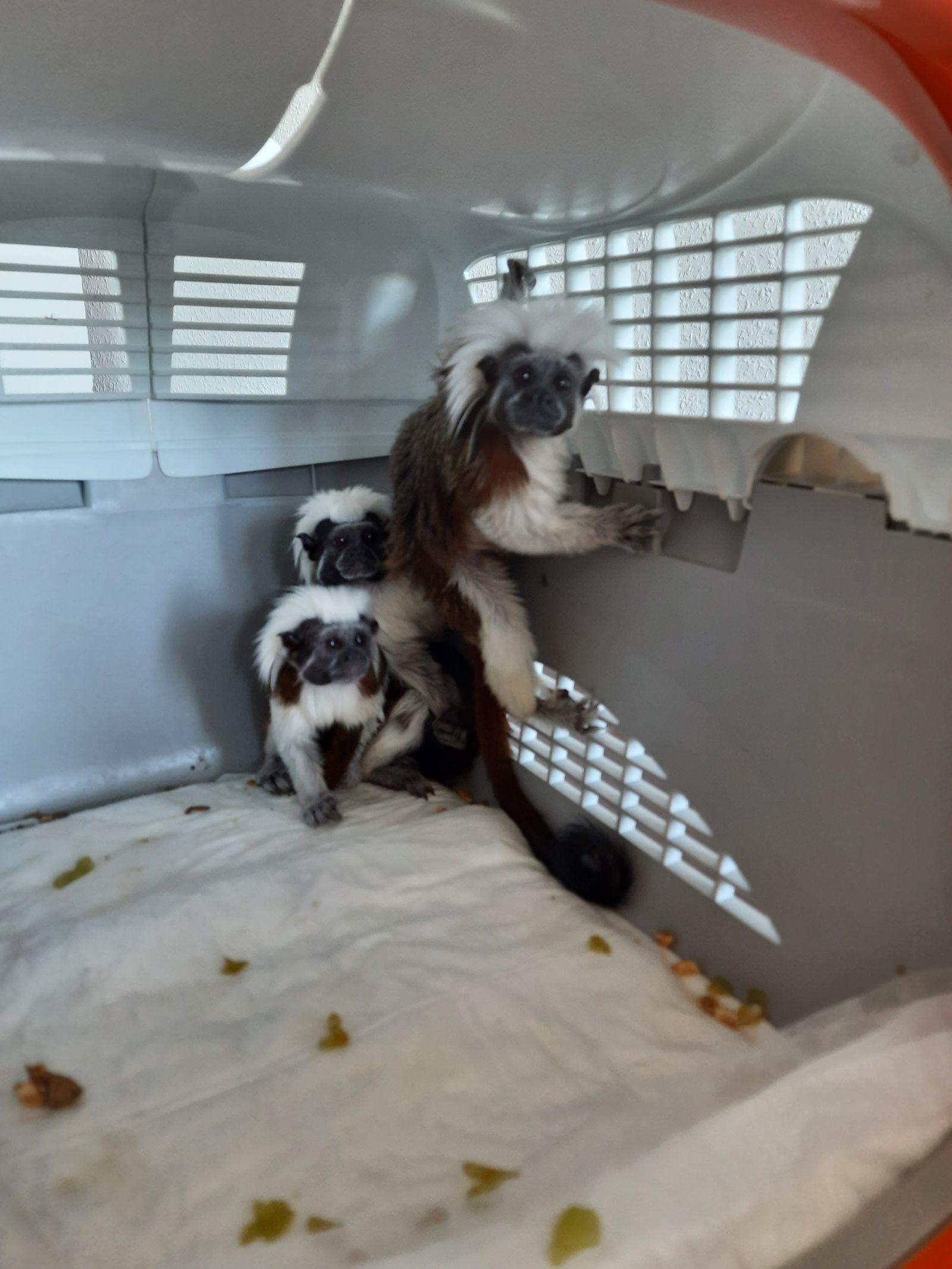 Polizei in Erfurt beschlagnahmt Affen vor illegalem Verkauf