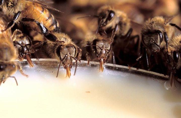 Bienen bei der Mahlzeit: Rätselhaftes Massensterben in den USA