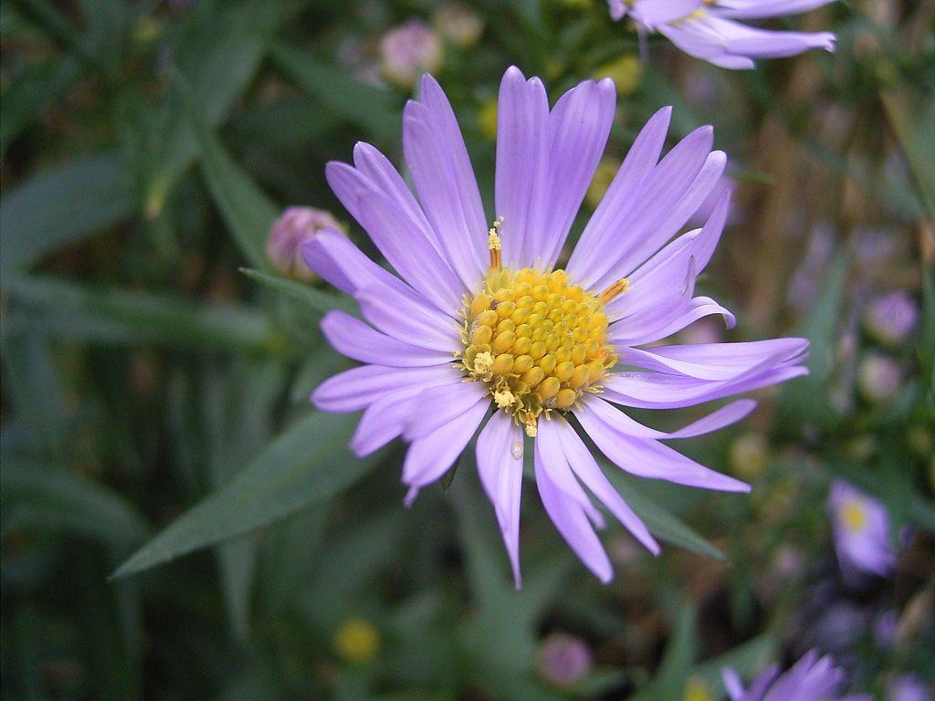 1024px-AsterNovi-belgii-flower-1mb-1