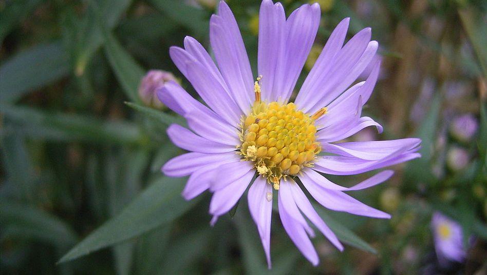 Blüte einer Glattblatt-Aster: In der Sammlung Wikimedia Commons wird dieses Foto seit Monaten rund 78 Millionen Mal pro Tag aufgerufen (CC BY-SA 3.0)