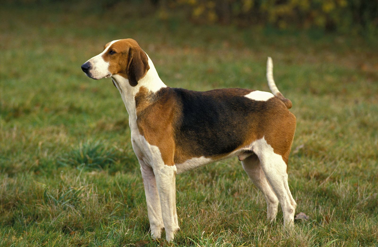 EINMALIGE VERWENDUNG Poitevin Dog