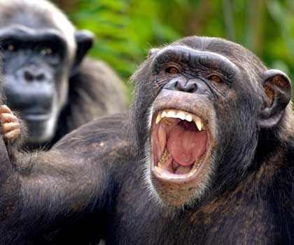Kein charmantes Lächeln: Wenn Schimpansen sich paaren wollen, bedrohen sie die auserwählten Weibchen besonders häufig