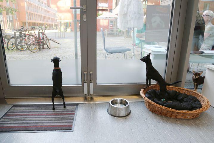 Der Chihuahua und zwei English Toy Terrier in der Praxis auf St. Pauli