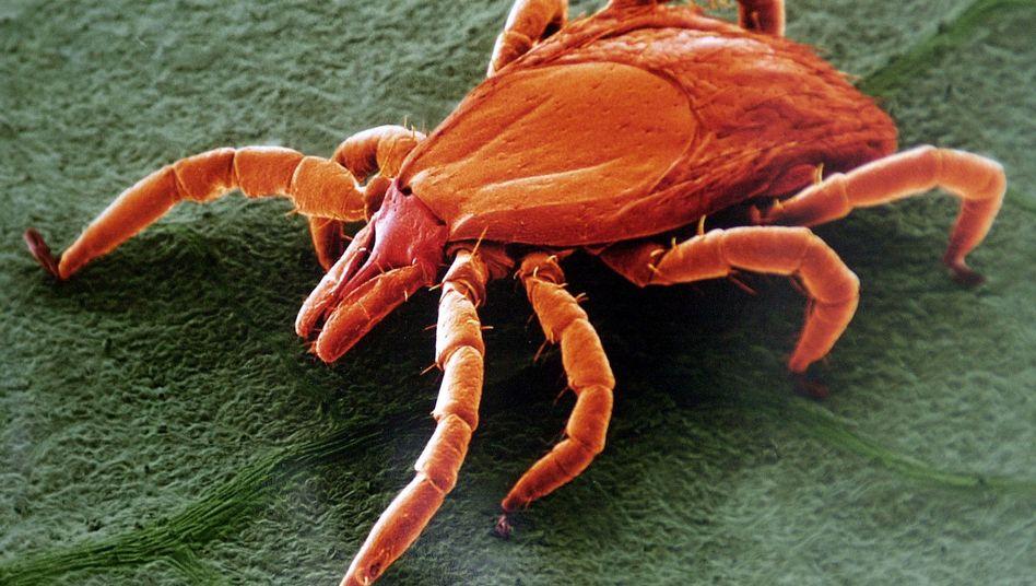Der gemeine Holzbock (Ixodes ricinus): Die Zecke überträgt Bakterien, die unterschiedlichste Symptome auslösen können