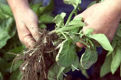 Wurzeln (bei Kartoffel-Pflanze): Pflanzen können zwischen selbst, fremd und verwandt unterscheiden