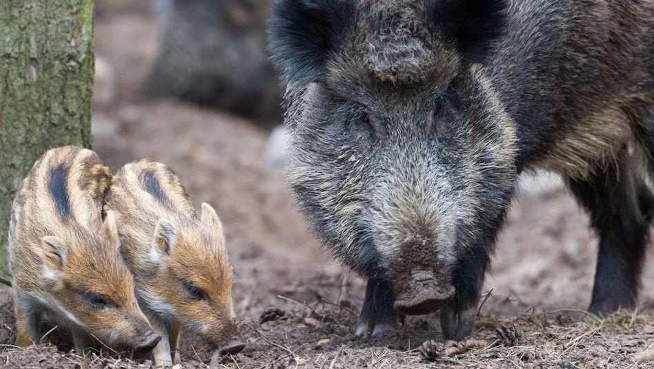 Bache mit Frischlingen im Wildpark (Archiv): Gut angepasst und abgehärtet