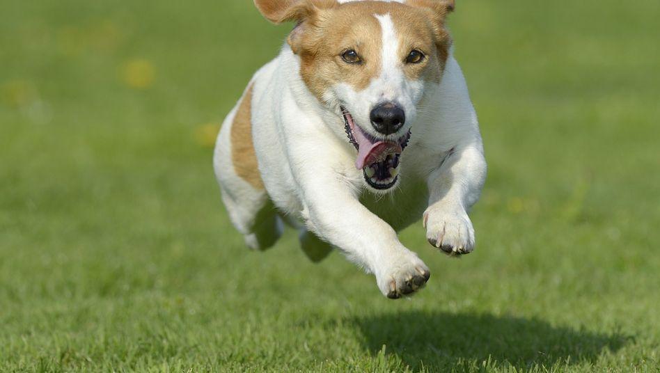 Jack Russell Terrier (Archivbild): Wie ein Irrer hin und her