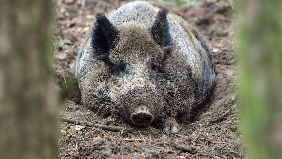 Wildschwein im Gehege: Freilaufende Tiere können die Afrikanische Schweinepest übertragen