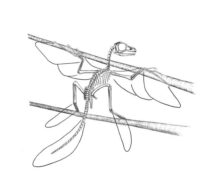 Rekonstruktion: Scansoriopteryx mit angedeuteten Arm- und Beinschwingen