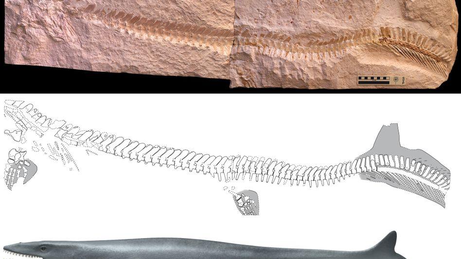 Mosasaurier (grafische Darstellung): Schwimmbewegungen des Reptils waren wellenförmig