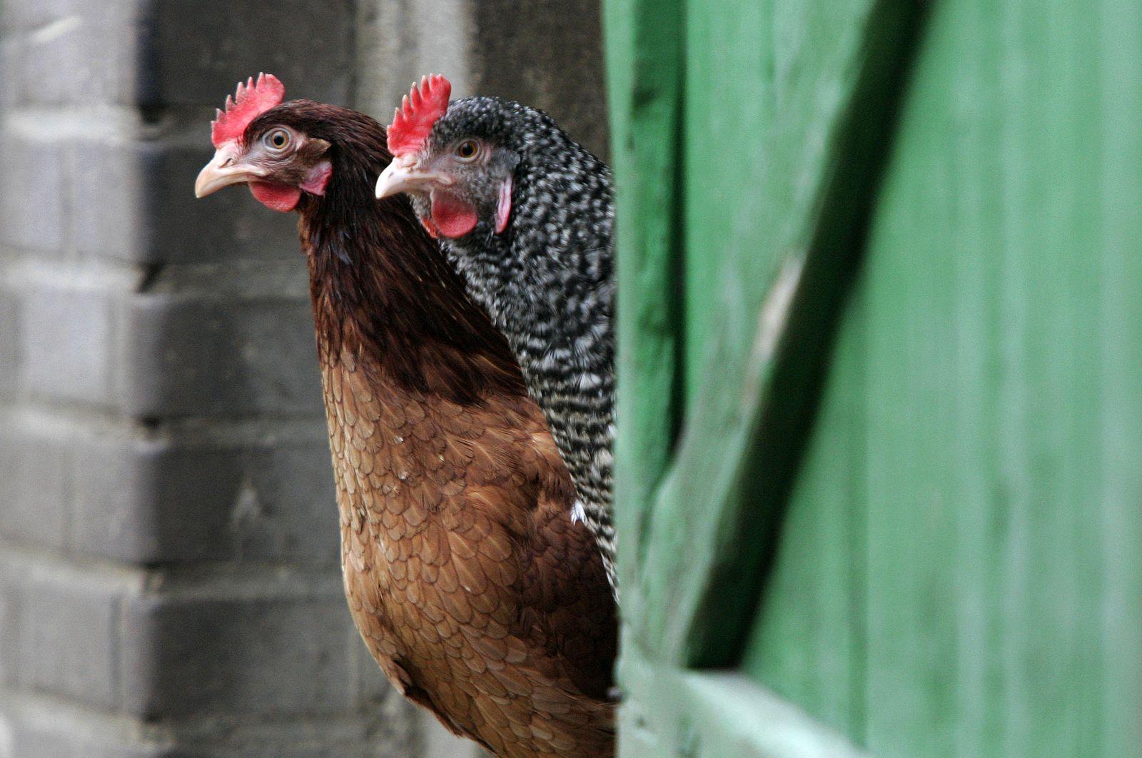 Legehennen / Geflügel / Hühner / Eier / Symbolfoto