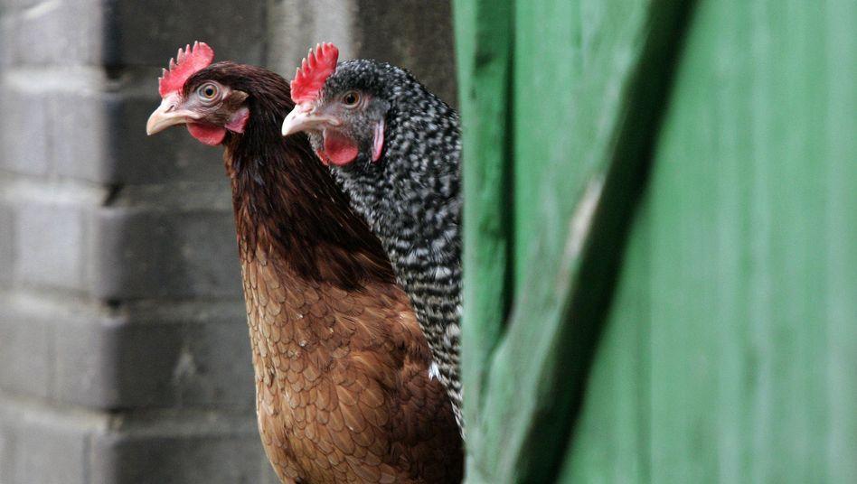 Sieben Wochen Vegetarier: Zwei Hühner weniger auf dem Gewissen