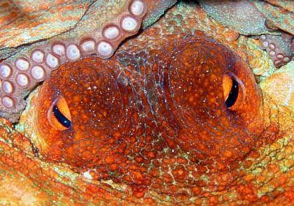 Krake auf der Jagd: Künstliche Linse sieht so scharf wie ein Oktopus