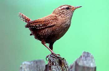 Zaunkönig: Singvögel versuchen mit aller Kraft, den Stadtlärm zu übertönen