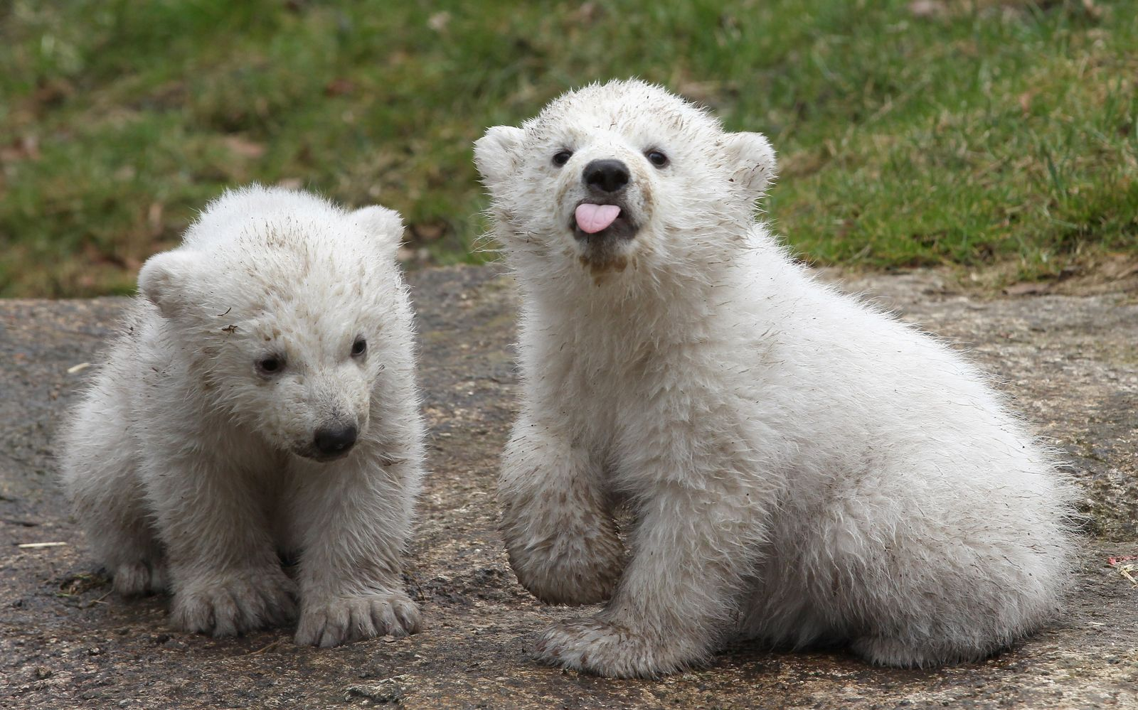 Hellabrunn Eisbären