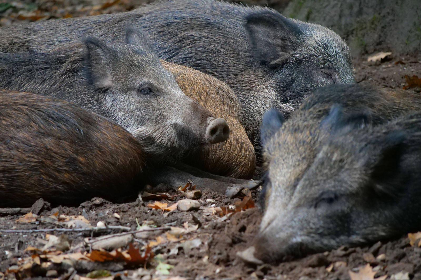 Wildschweine in verschidenen Aktionen. Wildschweine *** Wild boars in different actions Wild boars
