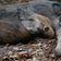 Afrikanische Schweinepest breitet sich aus