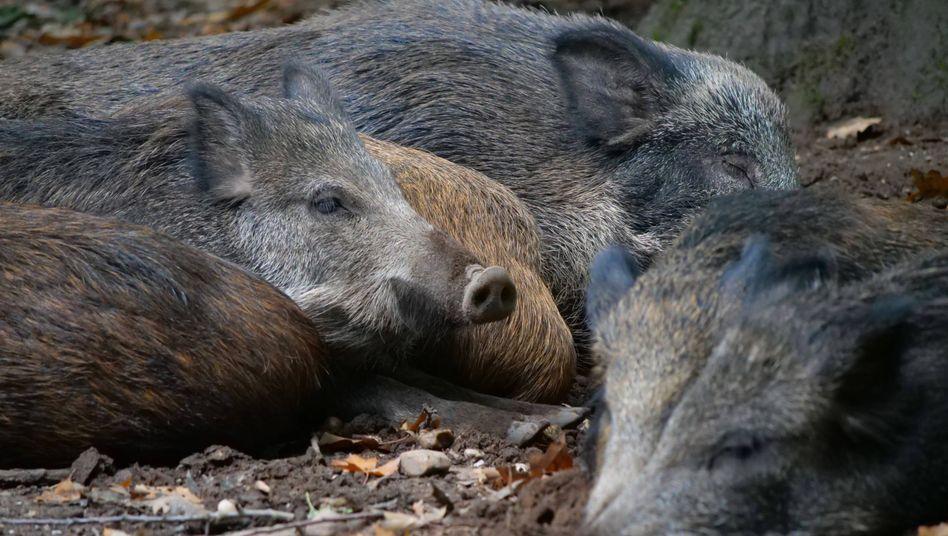 Afrikanische Schweinepest: Der neue Fundort liegt 60 Kilometer vom bisherigen Cluster entfernt