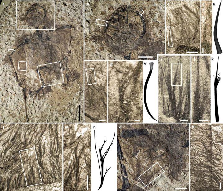 Fossilien der entdeckten Flugsaurier
