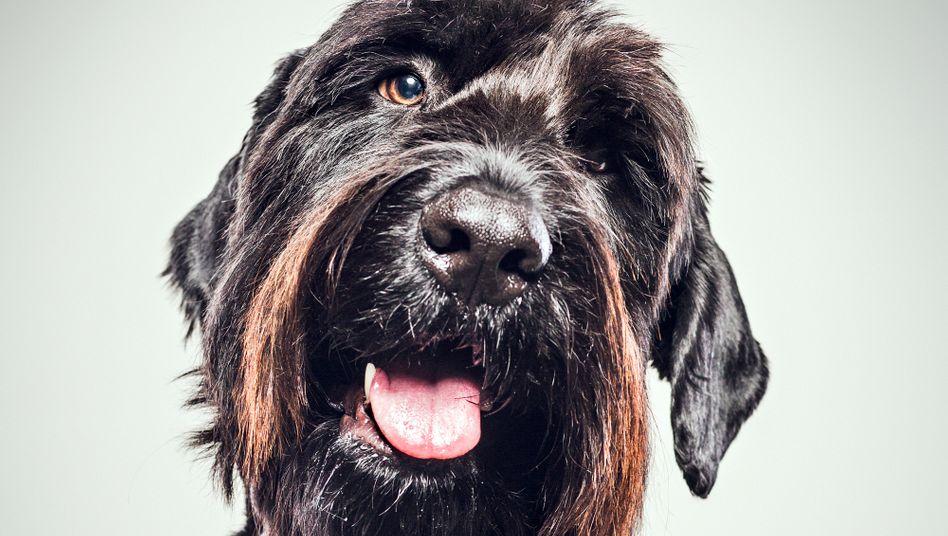 """Romanfigur Riesenschnauzer: """"Ich war so dankbar, dass dieser Hund endlich aufgetaucht ist"""""""