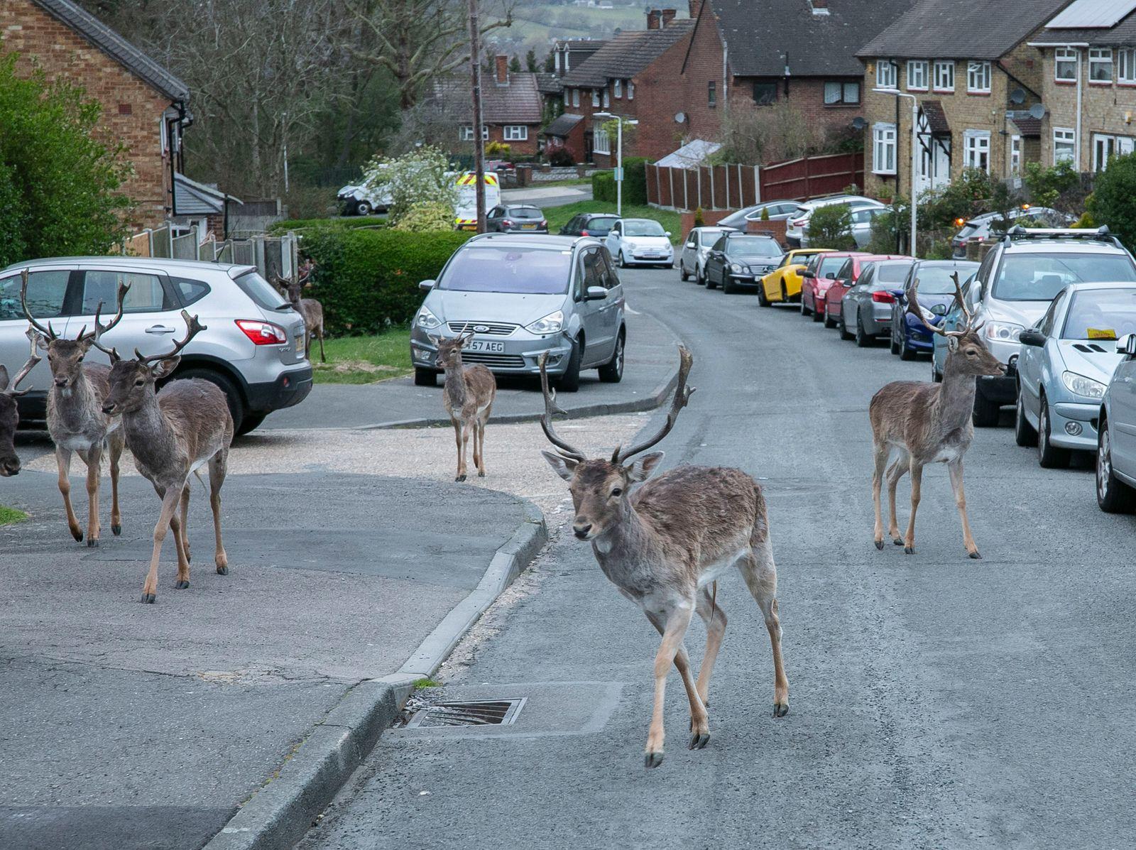 Deer roam into East London during lockdown