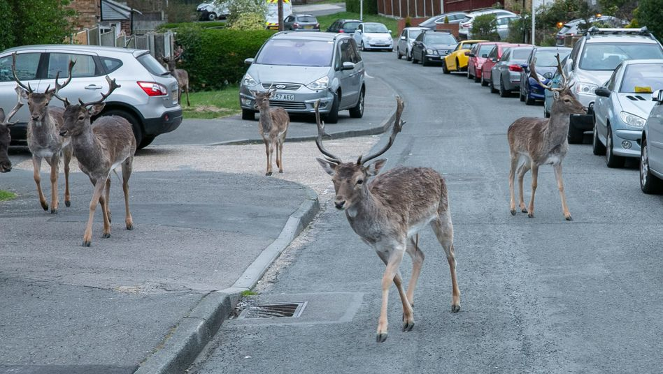 Hirsche im Stadtteil Harold Hill bei London