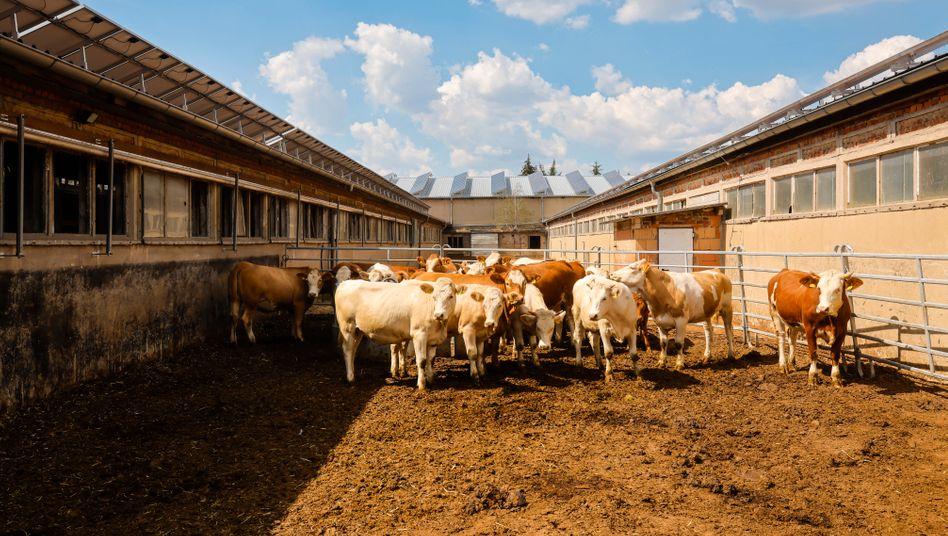 Vorbildliche Rinderställe in ehemaligem LPG-Gebäude in Sachsen: Tierhalter fordern finanzielle Unterstützung für Umbauten