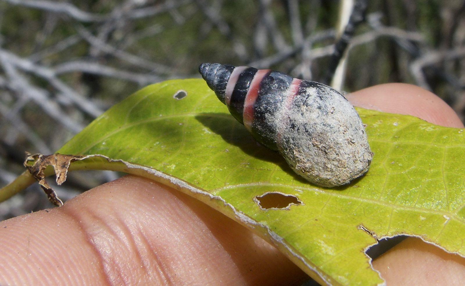 Seychellen/ Aldabra-Schnecke/ wiederentdeckt