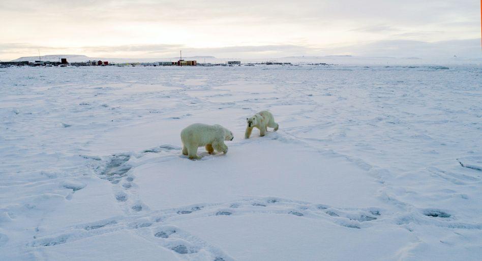 Hungrige Eisbären vor russischer Siedlung Ryrkaipij